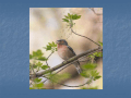 Statistical processing of chaffinch song +
